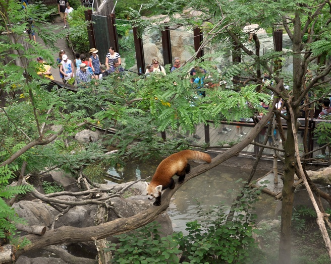 Rusty the Red Panda 2 medium
