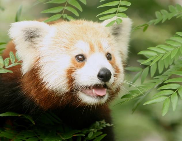 Rusty the Red Panda 6 medium