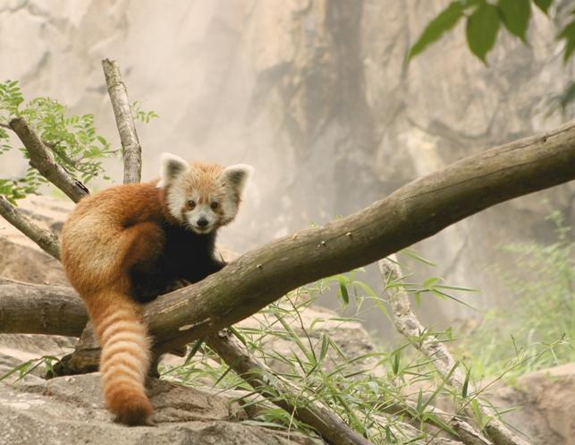 Rusty the Red Panda 8 medium