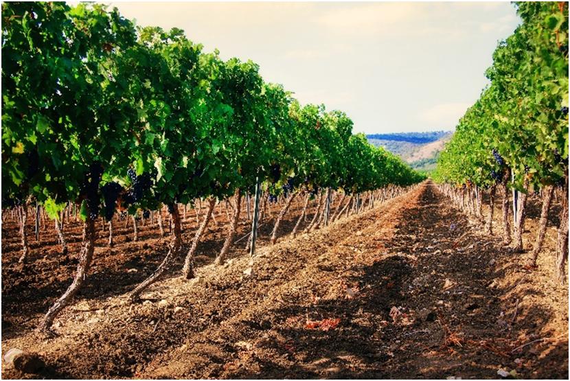 bmo-bulgaria-wine-vineyard
