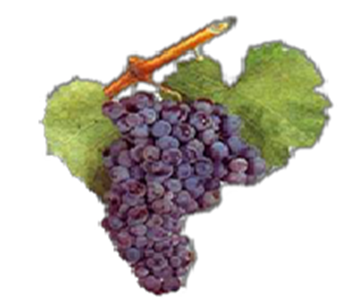 bmo-bulgaria-wine-art-wine-grapes-on-vine