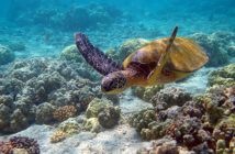 Scuba diving picture of a turtle